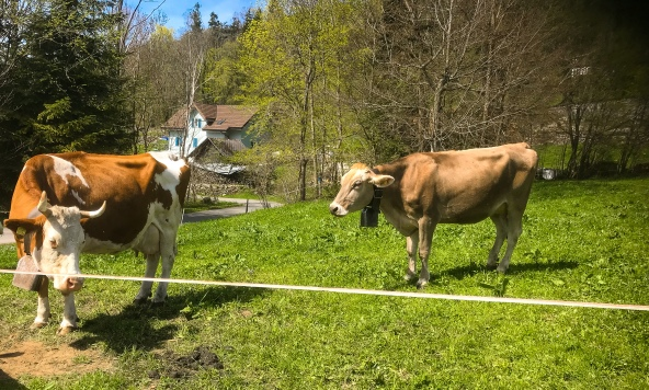 Yes we're in Switzerland look at the bells on the cows!